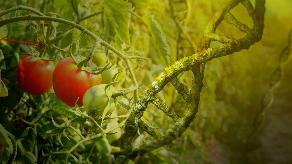 Продукты с отредактированным геномом: это вкусно, полезно или опасно?